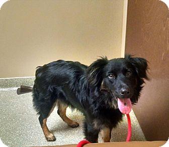 Australian Shepherd Mix Dog for adoption in Irmo, South Carolina - Emily