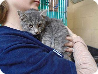 Domestic Shorthair Kitten for adoption in Somerset, Pennsylvania - Nick