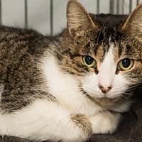Adopt A Pet :: Fala - Lombard, IL