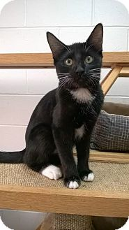 Domestic Shorthair Cat for adoption in Ozark, Alabama - Ava