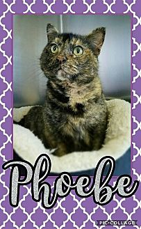 Calico Cat for adoption in Edwards AFB, California - Phoebe