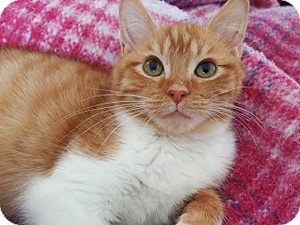 Domestic Shorthair Cat for adoption in Smithfield, North Carolina - Ian