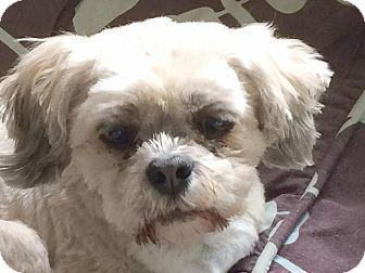 Lhasa Apso Dog for adoption in Homer Glen, Illinois - Bunny