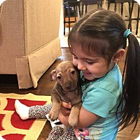 Chihuahua Puppy for adoption in Arlington/Ft Worth, Texas - Dutch