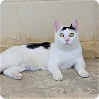 Domestic Shorthair Cat for adoption in Umatilla, Florida - Gouda