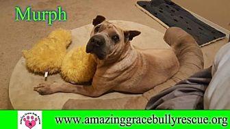 Shar Pei Dog for adoption in Pensacola, Florida - Murph