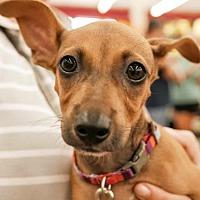 Adopt A Pet :: Pooh - Fort Lauderdale, FL
