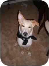 Labrador Retriever/German Shepherd Dog Mix Dog for adoption in Boca Raton, Florida - Lillie