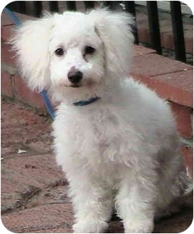 Poodle (Miniature) Puppy for adoption in Poway, California - Brandon