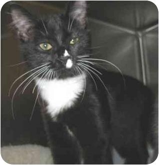 Domestic Shorthair Kitten for adoption in North Kingstown, Rhode Island - Eve
