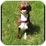 Photo 3 - Pit Bull Terrier Dog for adoption in Tampa, Florida - Hershey