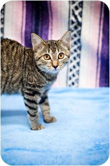 Domestic Shorthair Cat for adoption in Houston, Texas - Pumpkin