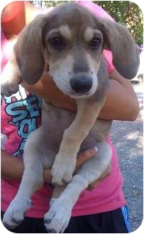 Shepherd (Unknown Type)/Basset Hound Mix Puppy for adoption in Tahlequah, Oklahoma - Anita
