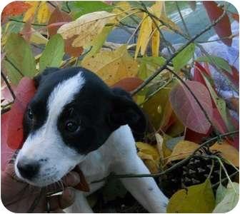 Pointer/Mastiff Mix Puppy for adoption in Naugatuck, Connecticut - Addison