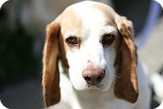 Basset Hound/Beagle Mix Dog for adoption in Los Angeles, California - Bailey - loves everyone!