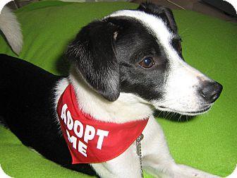 Rat Terrier Mix Dog for adoption in Irvine, California - Ava