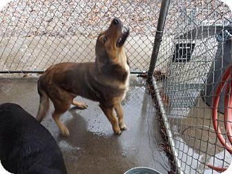 Shepherd (Unknown Type) Mix Dog for adoption in Henderson, North Carolina - Yota