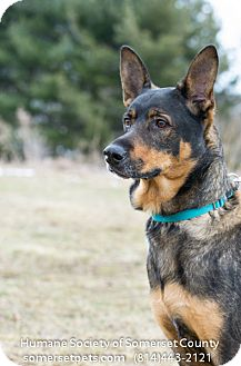 German Shepherd Dog/Rottweiler Mix Dog for adoption in Somerset, Pennsylvania - Maggie