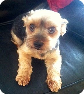 Yorkie, Yorkshire Terrier Dog for adoption in Naples, Florida - Minnie