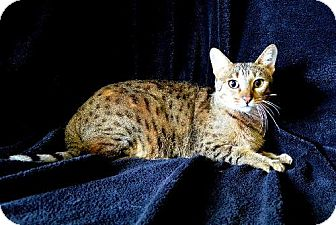 Exotic Cat for adoption in Brooksville, Florida - Basha
