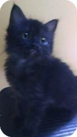 Domestic Shorthair Kitten for adoption in Gainesville, Florida - Mercedes