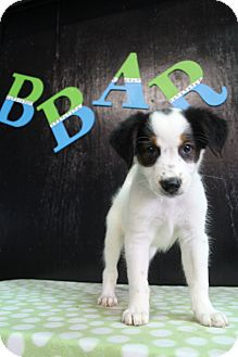 Australian Shepherd/English Pointer Mix Puppy for adoption in Bedminster, New Jersey - Stone