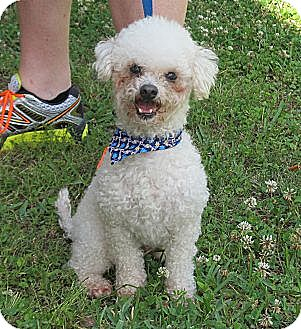 Poodle (Miniature) Dog for adoption in Kingwood, Texas - Cooper