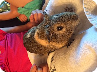 Guinea Pig for adoption in Fullerton, California - Bud and Hank