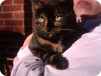 Domestic Shorthair Cat for adoption in Bloomsburg, Pennsylvania - Bella