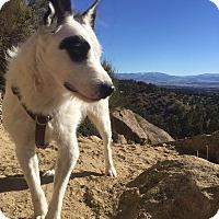 Adopt A Pet :: Orrie - Denver, CO