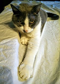 Domestic Shorthair Cat for adoption in Herndon, Virginia - Honeysuckle