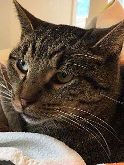 Domestic Shorthair Cat for adoption in Bourbonnais, Illinois - Cutler