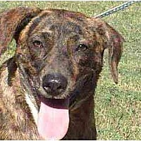 Catahoula Leopard Dog Mix Dog for adoption in Tyler, Texas - TG-Reba