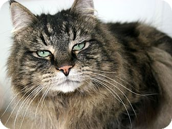 Maine Coon Cat for adoption in Republic, Washington - Oliver