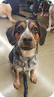 Beagle/Cattle Dog Mix Puppy for adoption in Florence, Kentucky - Bow