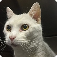 Adopt A Pet :: Ghost-I love attention! - Manchester, NH