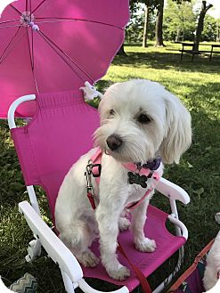 Maltese/Poodle (Miniature) Mix Dog for adoption in Norwalk, Connecticut - Lucy - MEET ME