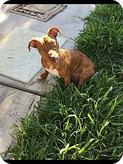 Dachshund/Pit Bull Terrier Mix Dog for adoption in Las Vegas, Nevada - Felicia