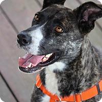 Adopt A Pet :: Cordelia - Pinehurst, NC