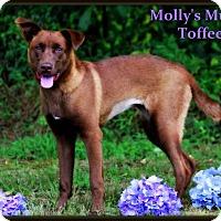 Adopt A Pet :: Toffee - Dixon, KY