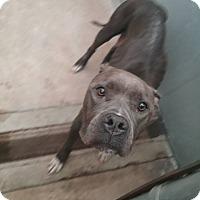 Adopt A Pet :: Bella - Elizabeth, NJ