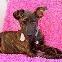 Adopt A Pet :: Noah - Los Angeles, CA