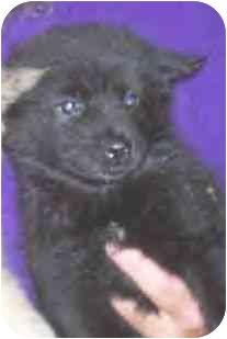 Chow Chow/Australian Shepherd Mix Puppy for adoption in Baltimore, Maryland - Sydnie & Nicole