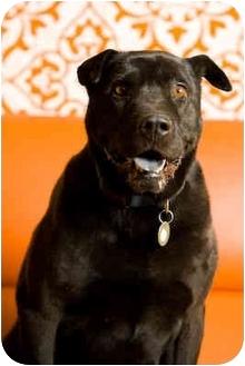 Shar Pei/Labrador Retriever Mix Dog for adoption in Portland, Oregon - Sherman