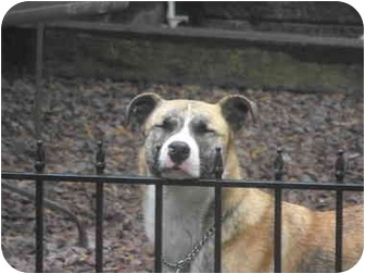 Boxer/Catahoula Leopard Dog Mix Dog for adoption in Owingsville, Kentucky - Carrie
