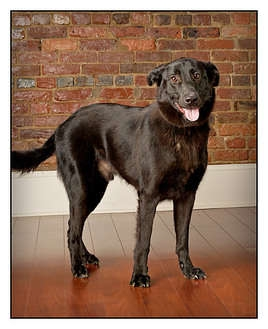 Labrador Retriever/Shepherd (Unknown Type) Mix Dog for adoption in Owensboro, Kentucky - Miles