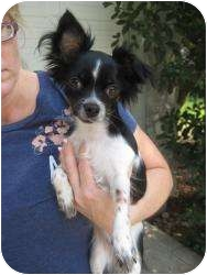Papillon Dog for adoption in New Milford, Connecticut - Lily