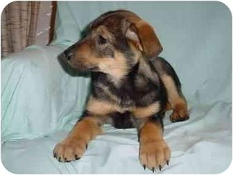 Labrador Retriever/Shepherd (Unknown Type) Mix Puppy for adoption in Mason City, Iowa - Cyble Shepherd