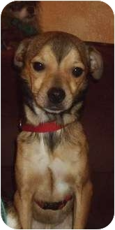 Chihuahua/Jack Russell Terrier Mix Dog for adoption in S. Pasedena, Florida - Duke