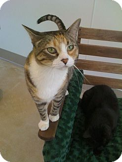 Domestic Shorthair Cat for adoption in Chicago, Illinois - Rasputina